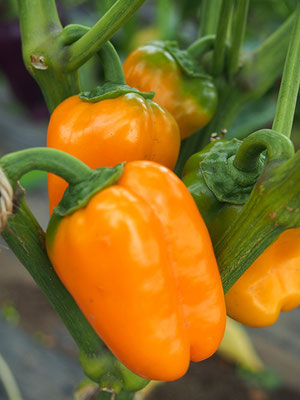 橙ピーマン:ランチボックス・オレンジ