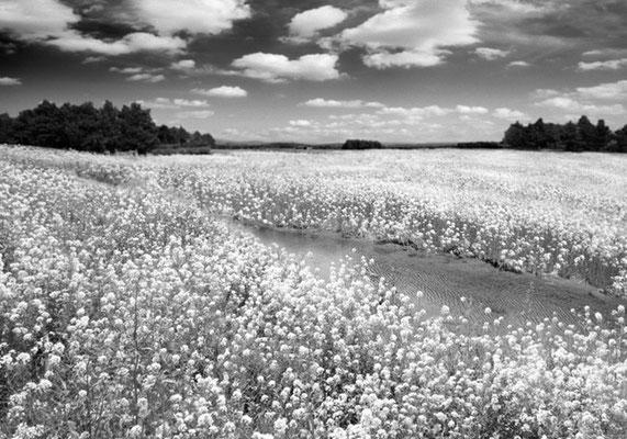 菜の花と川