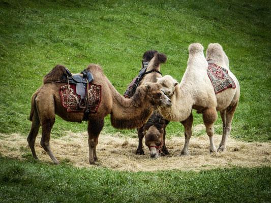 bei den Bayern-Kamelen