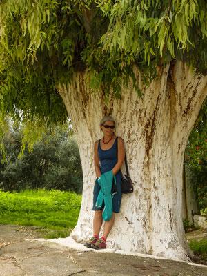 Kardamili - Eukalytusbaum