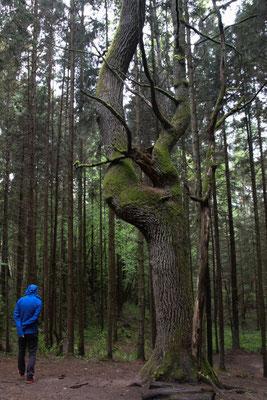 Pokaini Wald