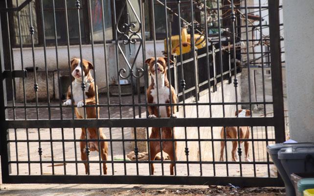 Die Italiener und ihre eingesperrten, kläffenden Hunde,