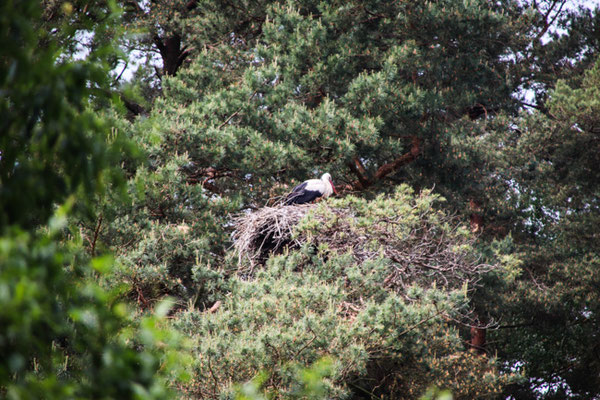 Storchennest im Baum