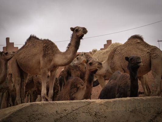Kamelmarkt Guelmim