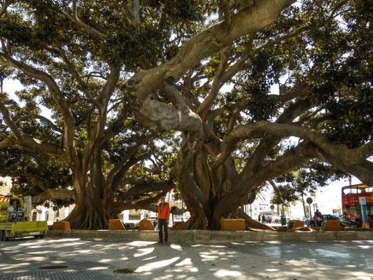 Cádiz, riesiger Banyanbaum