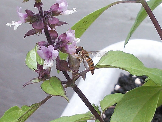 ホーリーバジルと蜂