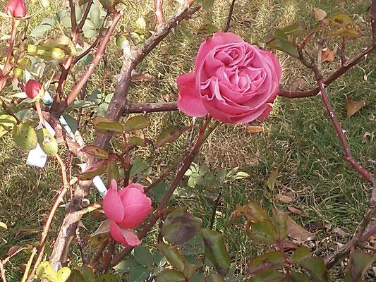 寒空に咲く薔薇