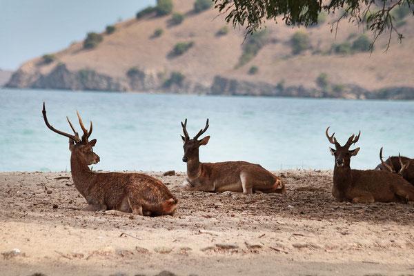 Endlich auf der Insel Komodo. Hier gibt es Hirsche.