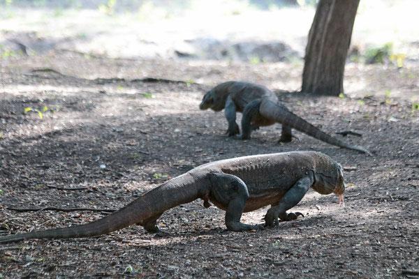 Warane auf der Insel Rinca - hier gibt es mehr von diesen Reptilien