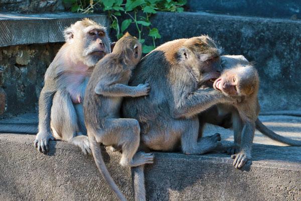 Beim Affentempel, dem Pulaki wimmelt es nur so von Makaken, einer in Indonesien weit verbreiteten Affenart