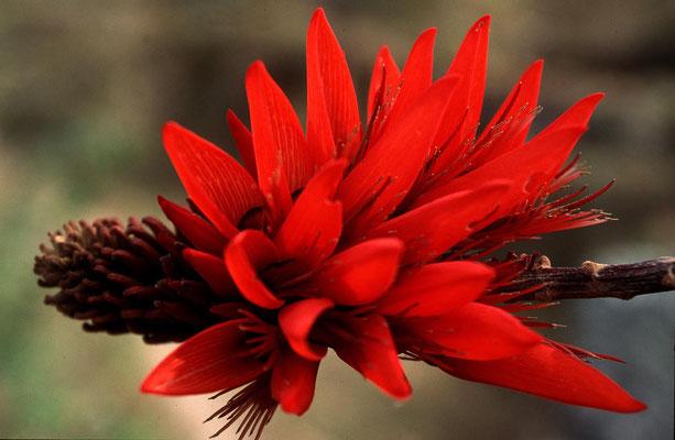 Blüte eines Korallenbaumes. Aufnahme aus Nepal.