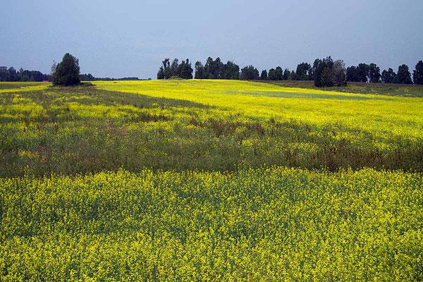 Rapsfelder auf Saaremaa, der mit etwa 2.672 km² größten Ostsee-Insel Estlands.
