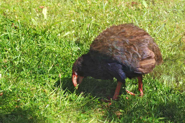 Takahe (flugunfähiger Vogel)