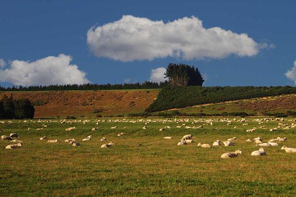"""Neuseeland: """"Land der weißen Wolke"""" - aber auch der Schafe - es gibt mehr Schafe als Menschen!"""