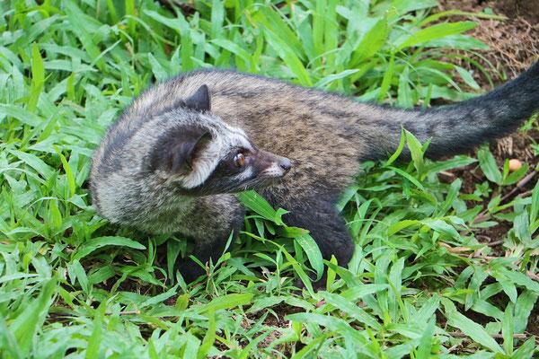 """Hier gibt es auch den """"Katzenkaffee"""" - Diese Katzenart frisst die Kaffeebohnen von den Sträuchern. Ausgeschieden ergeben die Bohnen den  teuren Kaffee"""