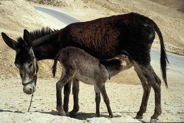 Esel neben der Straße von Jericho nach Jerusalem.