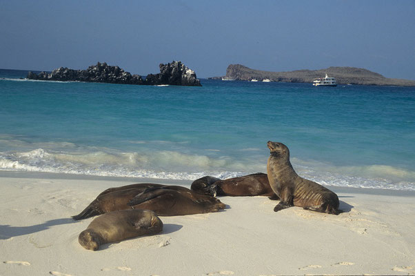 Seelöwen auf der Isla Santa Fee, Galapagos.