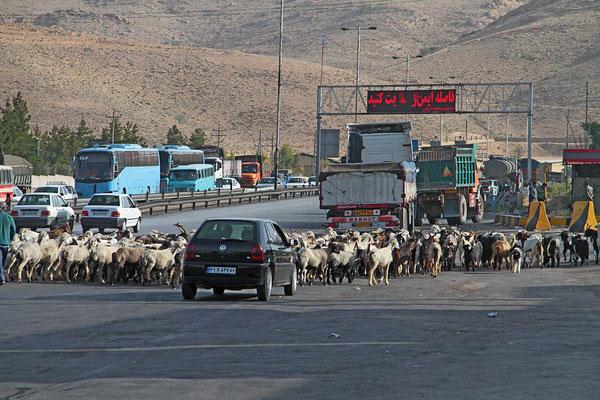 Die Autofahrer warten geduldig, wenn mal eine Schafherde über die Autobahn getrieben wird.