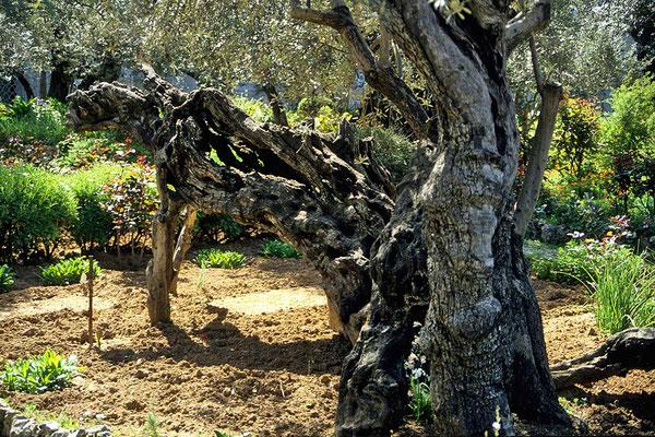 Im Garten Gethsemane  stehen uralte Olivenbäume.