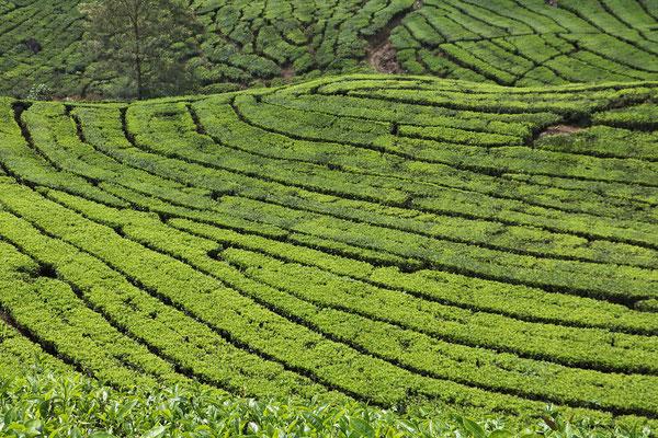 Teeplantage im Abendlicht auf Nord-Sumatra