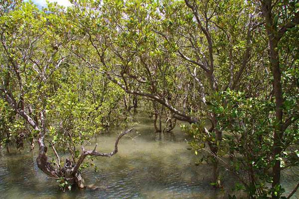 Mangroven bei Paihia