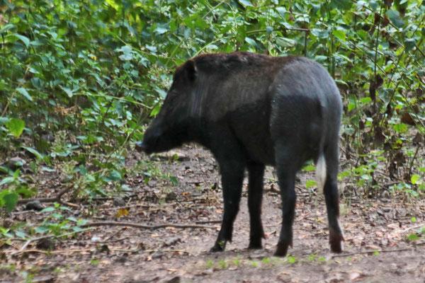 Auch Wildschweine gibt es auf Komodo. Sie sind die Leibspeise der Warane.