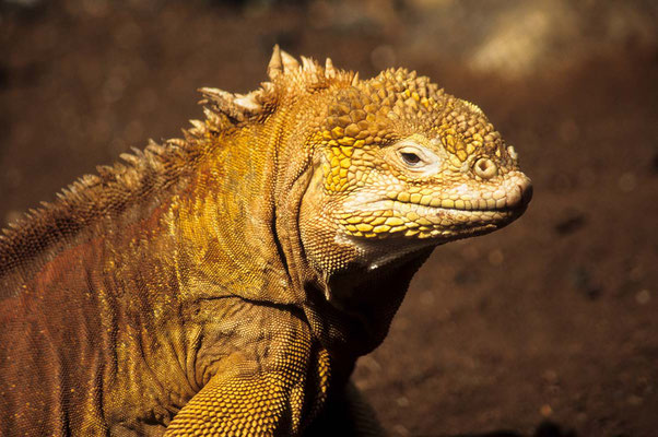 Leguan auf Galapagos.