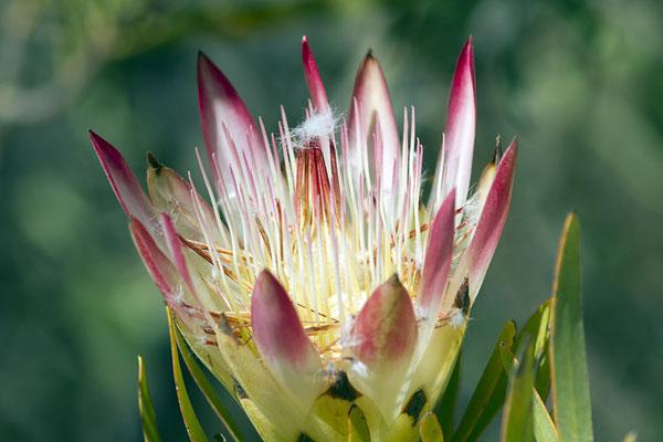Protea - die Königin der Blumen in Südafrika.