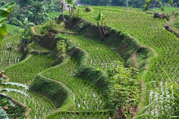 Malerische Reisterrassen im Norden Sumatras