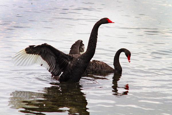 In Neuseeland sind die Schwäne schwarz -wie hier am Lake Taupo.