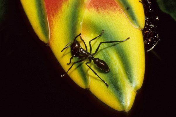 Die etwa 25 mm großen Ameisen sind nicht ungefährlich. Ein Stich von einem solchen Tierchen  beschert 24 Std. hohes Fieber.  5 Stiche sind für den stärksten Mann der sichere Tod.