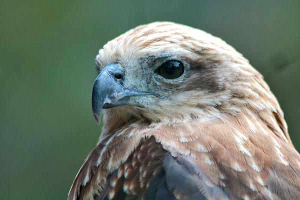 Greif-Vogel, fotografiert auf der Insel Samosir im Lake Toba.
