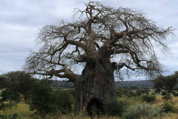 Afrikanischer Affenbrotbaum · Baobab