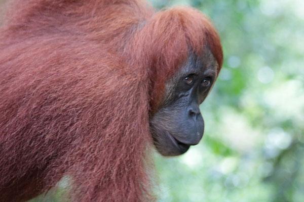 Im Gunung Leuser-Nationalpark kommt man in freier Wildbahn hautnah an die Orang Utans heran