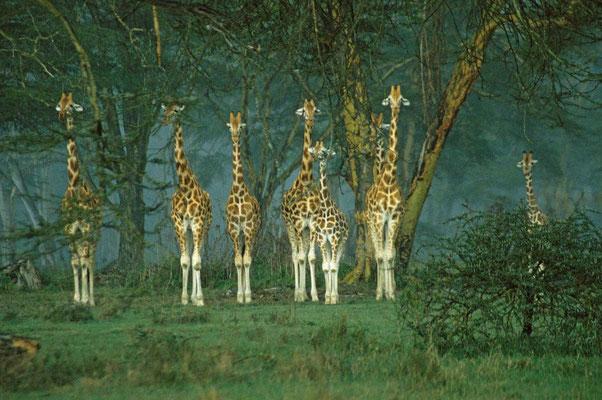 "Begrüßungskomitee im Naturpark "" Lake Nakuru"""