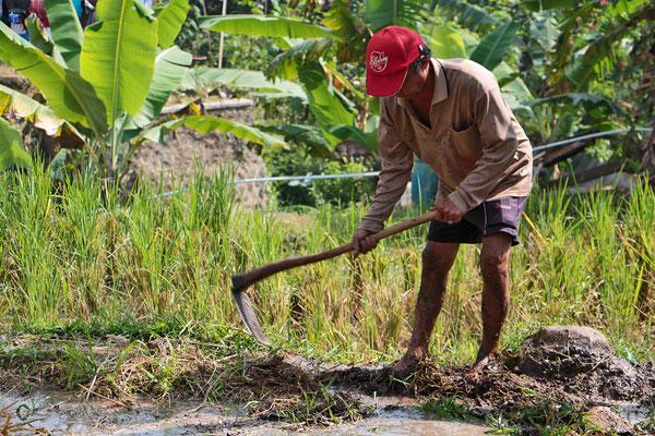 Reisbauer bei der Arbeit auf seinem Feld in Nord-Sumatra