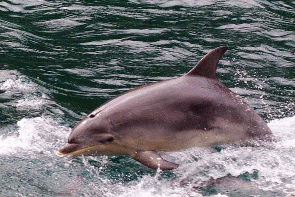 Springender Delphin im Milford Sound.
