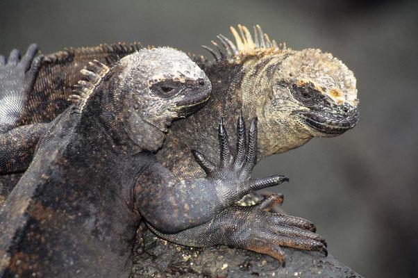 Leguane auf Galapagos.