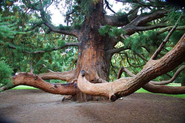 """Urig und eigenartig: """"Sequoia gigantea"""" im Park von Christchurch."""