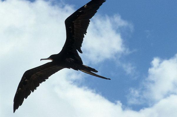 Fregattvogel im Flug.