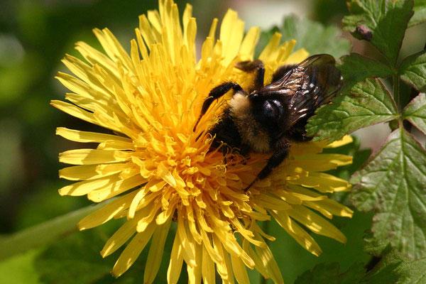 Fleißige Biene auf dem Löwenzahn.