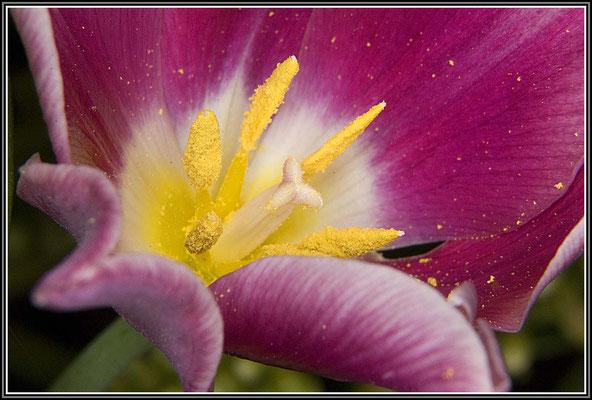 Selbst eine verblühende Tulpe kann noch reizvoll sein.