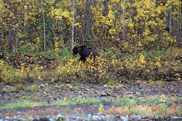 Ein stattlicher schwarzer Grizzly sucht nur wenige Meter von der Straße entfernt nach Futter.