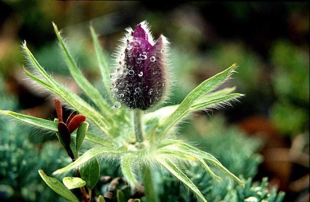 Anemone in den Bergen von Alaska.