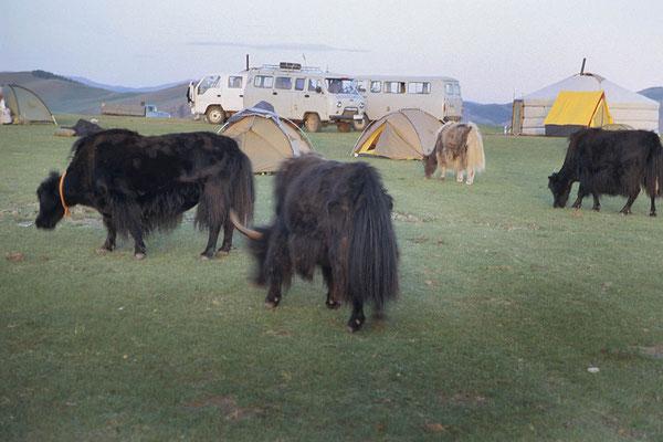 Auch nahe beim Orkhon-Wasserfall grasen die Yaks zwischen den Zelten. In der Nacht stoßen sie immer wieder gegen die Zelte oder trampeln auf den Heringen und Zeltschnüren herum.