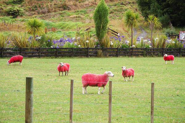 """Hier werden """"besondere"""" Schafe gezüchtet, damit es auch pinkfarbene Wollpullis gibt!"""