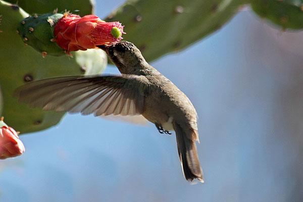 Mit seinen erstaunlichen Flugkünsten gehört der Kolibri zu den faszinierendsten Vögeln der Erde. Mit seinem langen, spitzen Schnabel saugt er hier im Flug den Nektar aus einer Kakteenblüte.