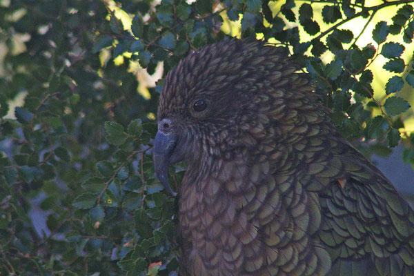 Für mich war dies der einzige Kea den ich in Neuseeland gesehen habe.