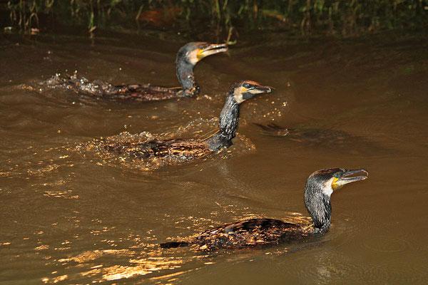 Diese Kormorane sind abgerichtet, haben ein Schlinge am Hals und können die gefangenen Fisch nicht schlucken....