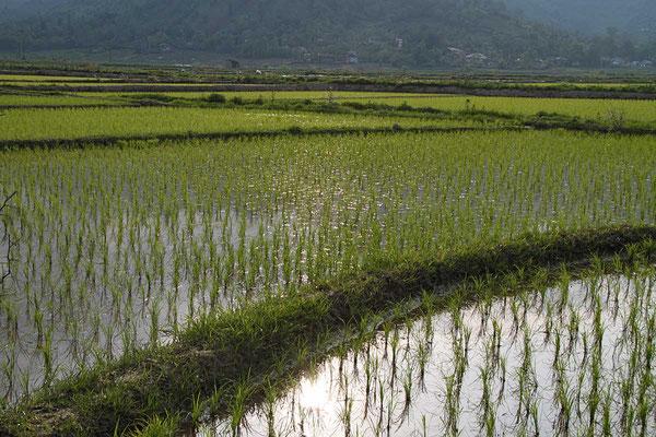 Reisfelder im weiteren Bereich von Bandar Anzali. Reis ist Grundnahrungsmittel.